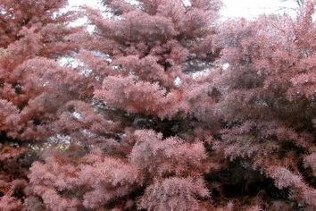 Plume Cedar via PlantLust