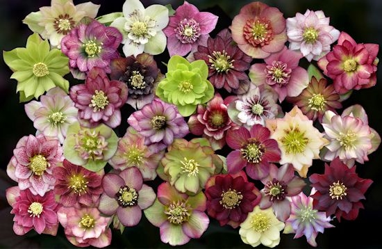 Hellebore Flowers via Sunshine Farm
