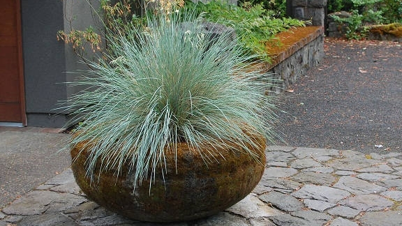 blue fescue in stone planter