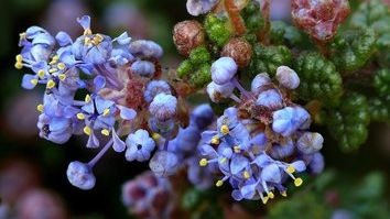 vandenberg-california-lilac.jpg