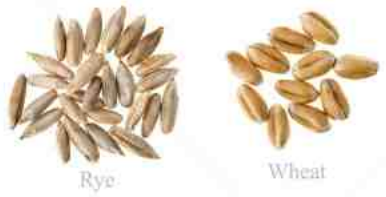 grains wheat rye.PNG