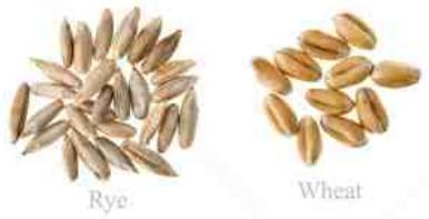 grains wheat rye.PNG