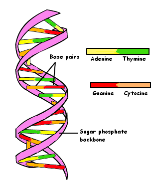 dna double-helix  9.PNG