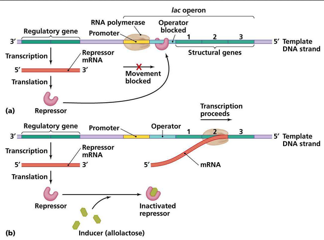 lac operon region 1.PNG