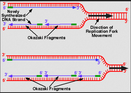 dna fork   ozakaki fragements.PNG