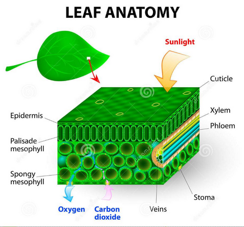 leaf green phto good size.PNG