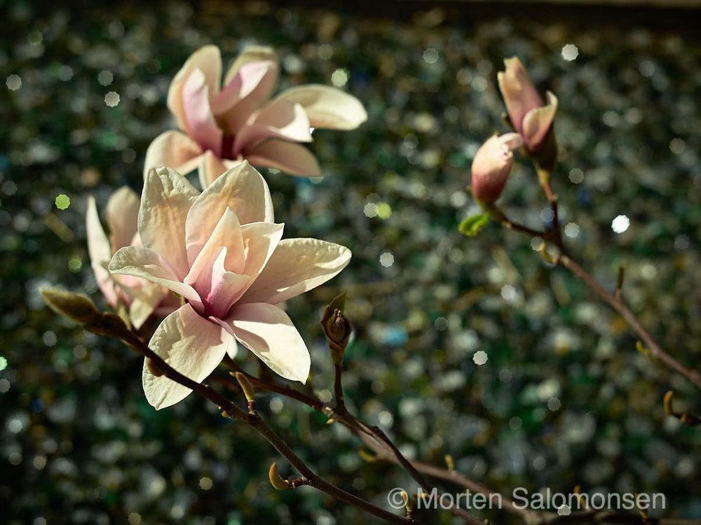 That frustrating Magnolia