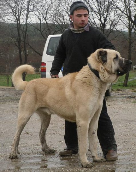 Herkul, Max's GFather 32.75, 176#