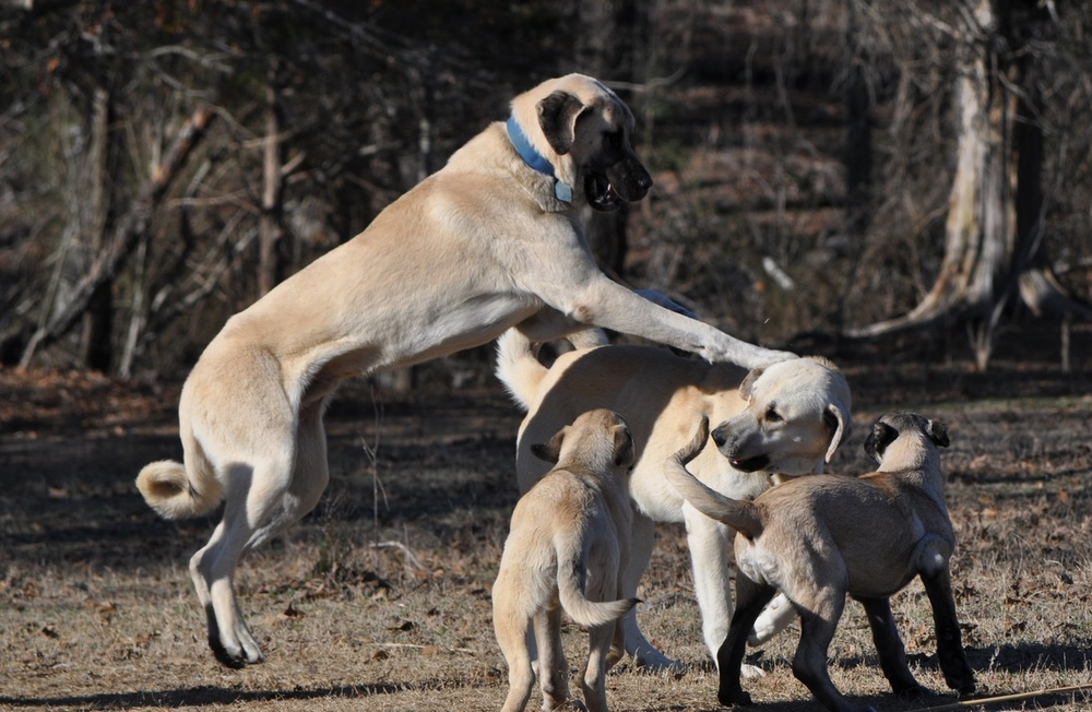 Top 12 Kangal For Sale In Texas - Gorgeous Tiny