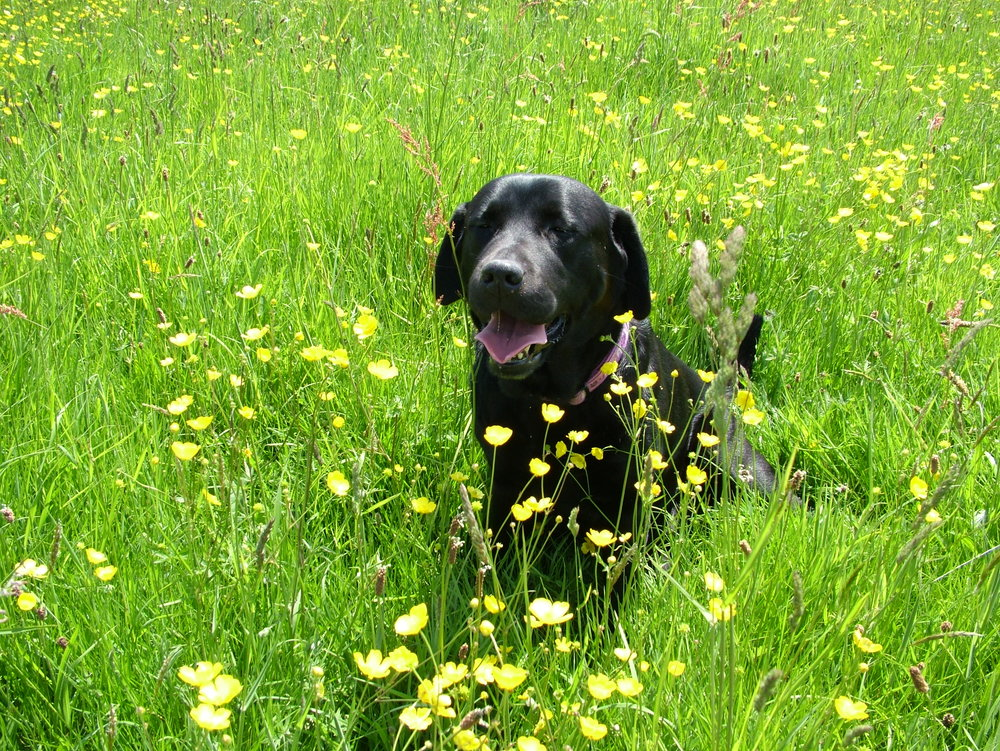 Wilma in a meadow in England June 2013