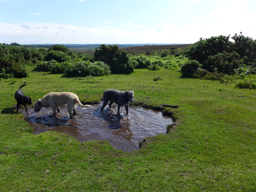 The dogs cooling off in a small pond