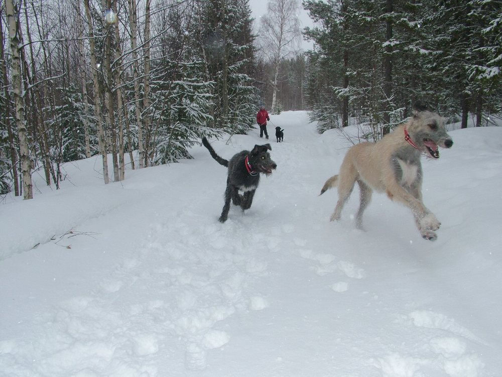 3 Wolfies loving the new snow !.jpg