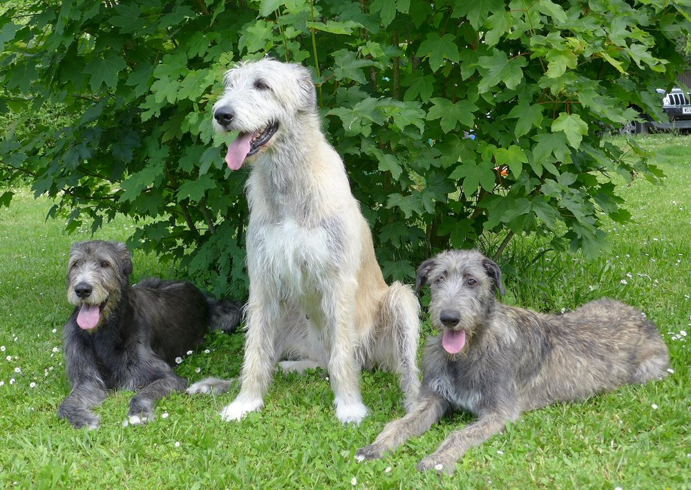 "May 2016, from left, Daisy-Team Moalands Meadows of Heaven, Ellie-Irdalens Daylight and Tilly-Xaliburs O""Tilly."