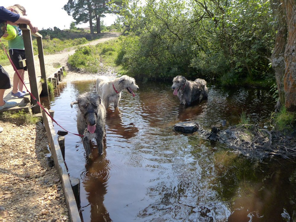 Wolfies cooling off in the New Forest.jpg