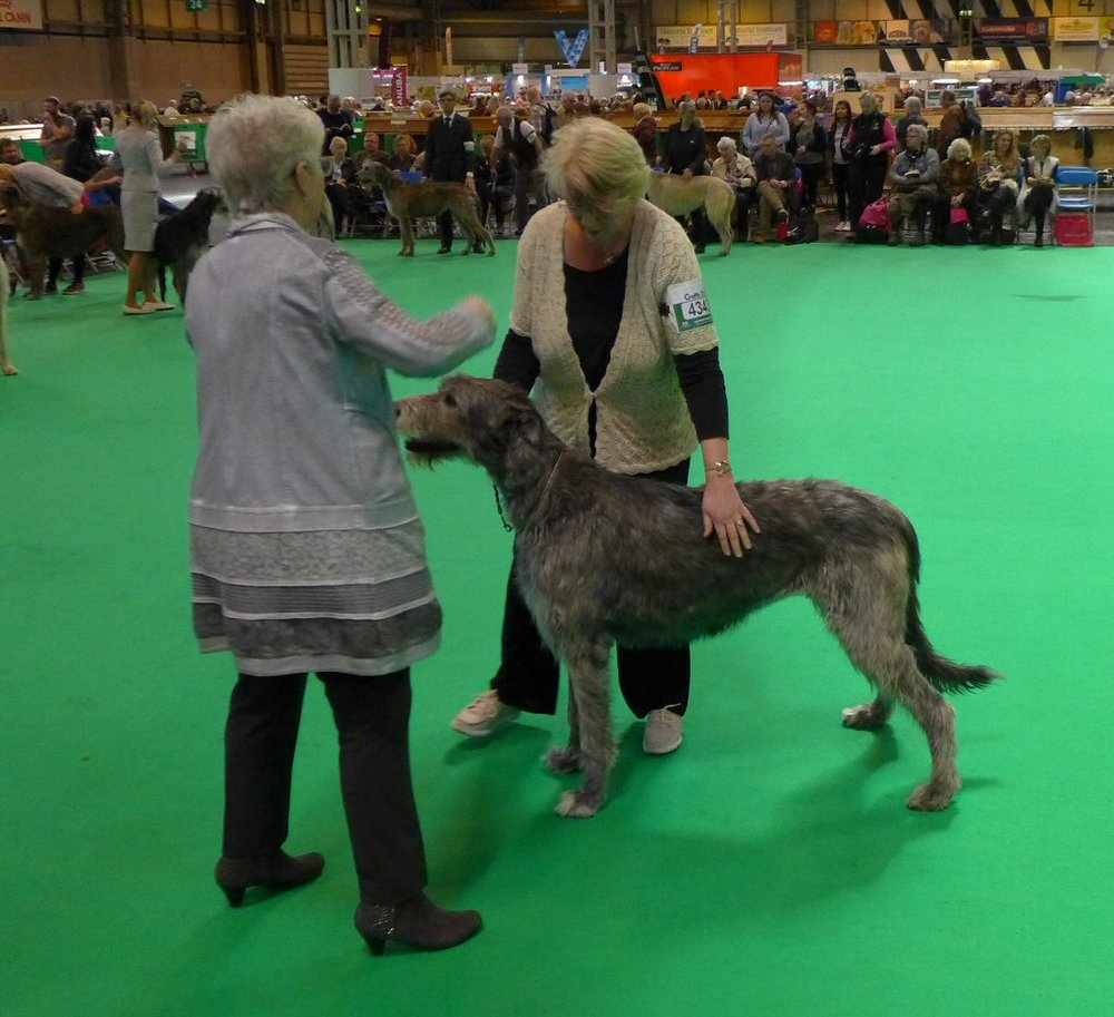 Daisy with the judge in the ring at Crufts.jpg