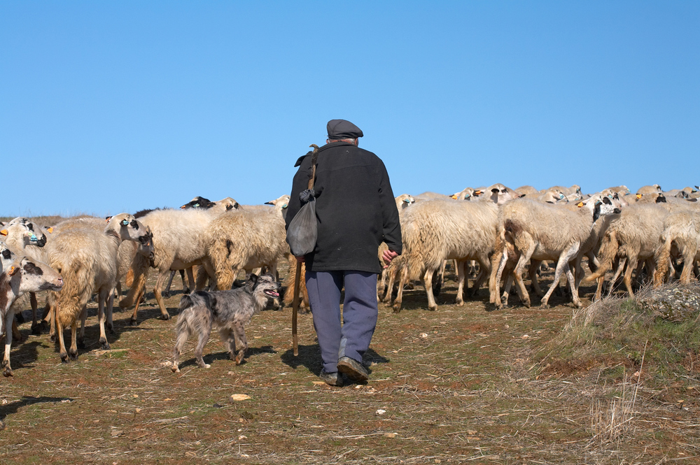 Shepherd with sheep in Portugal.