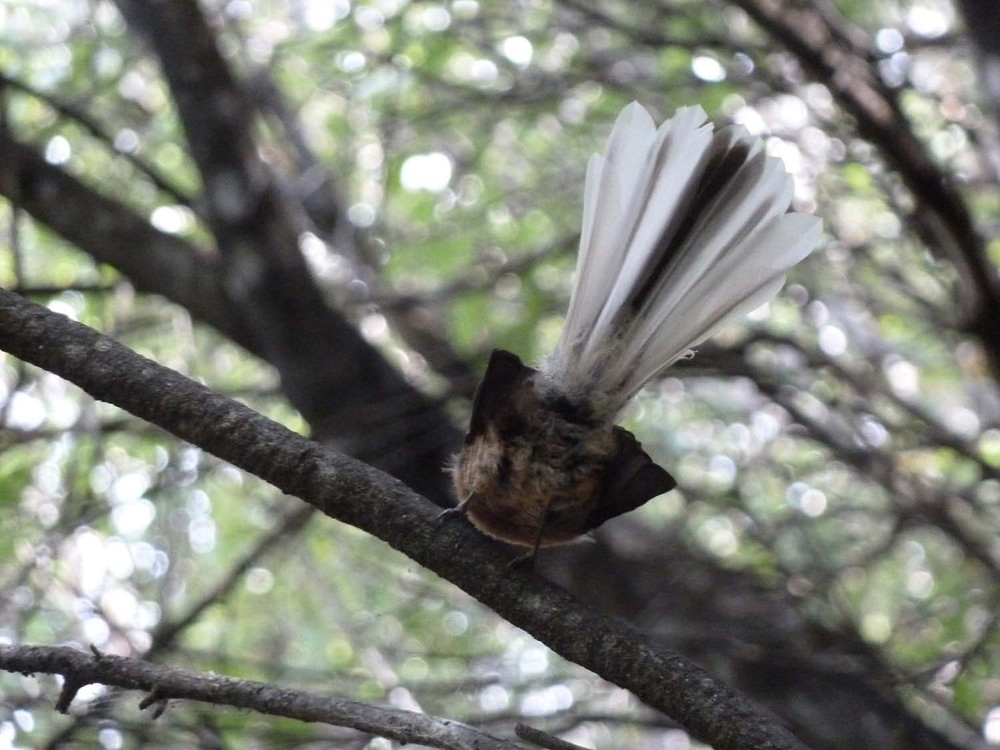 A Picture Of A Fantail! Finally!