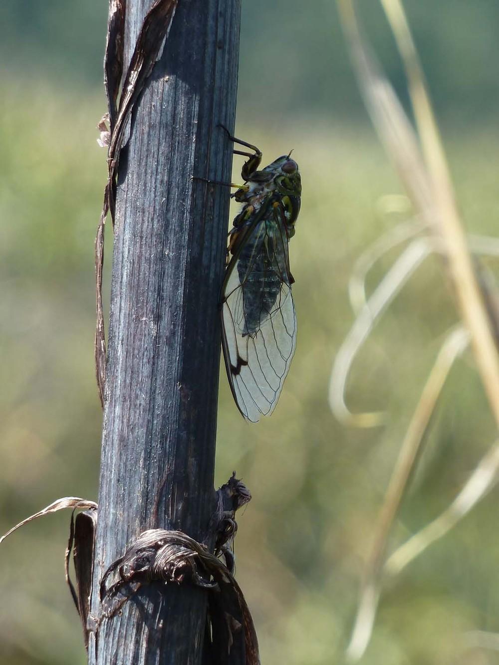 Cicada Insanity