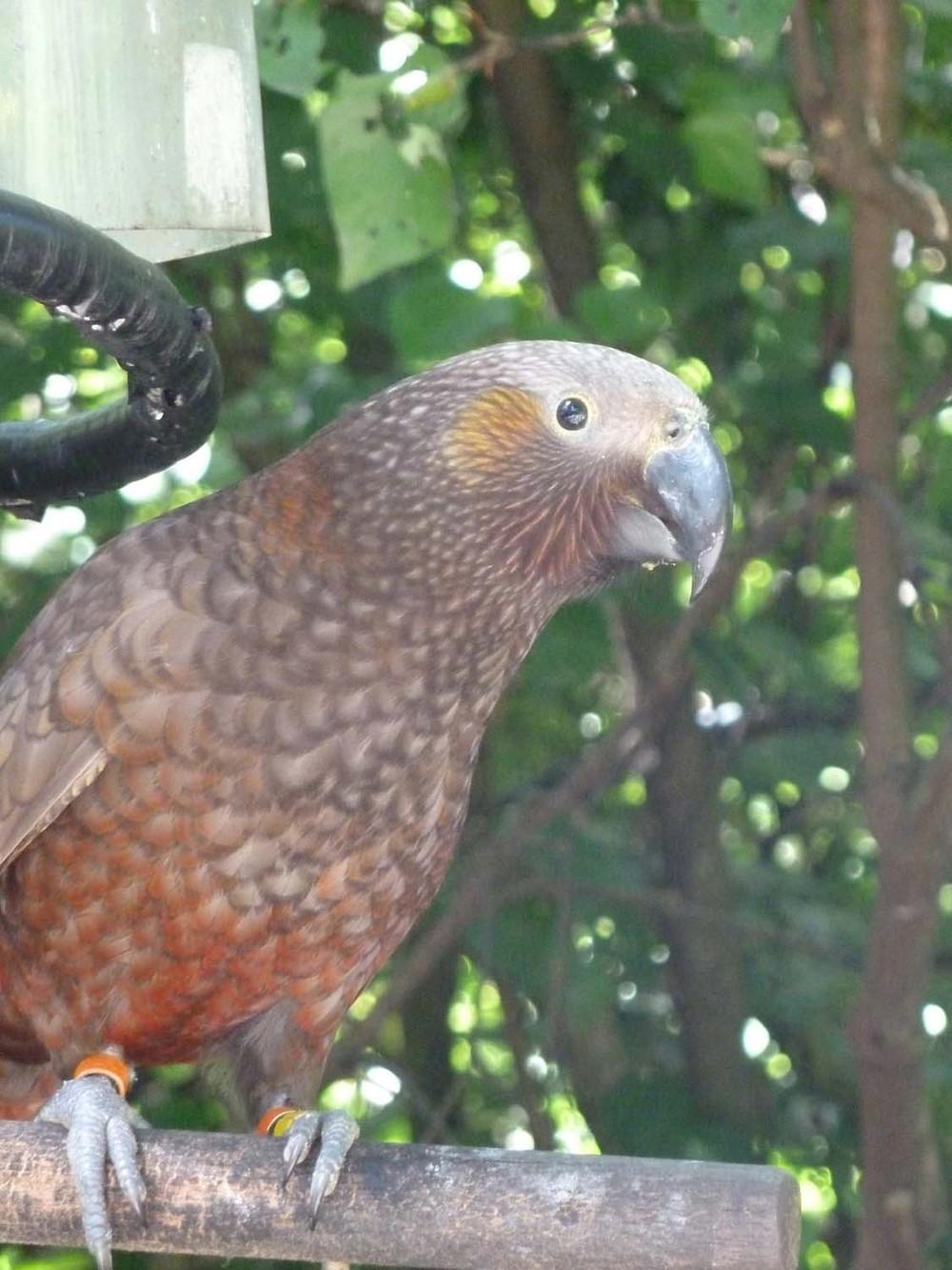 A Kaka Bird