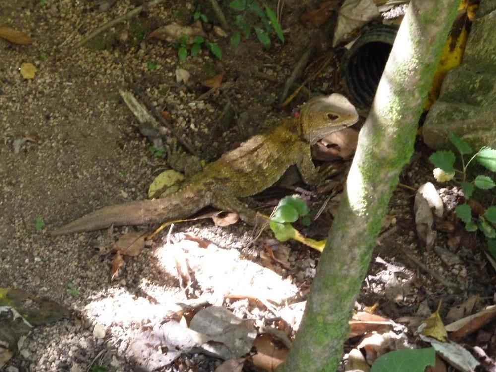 A Female Tuatara