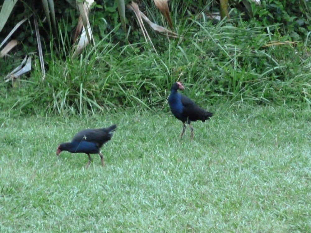 Pukeko Sighting