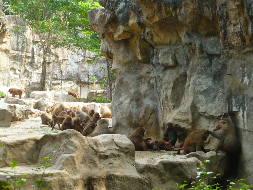 Baboon Colony