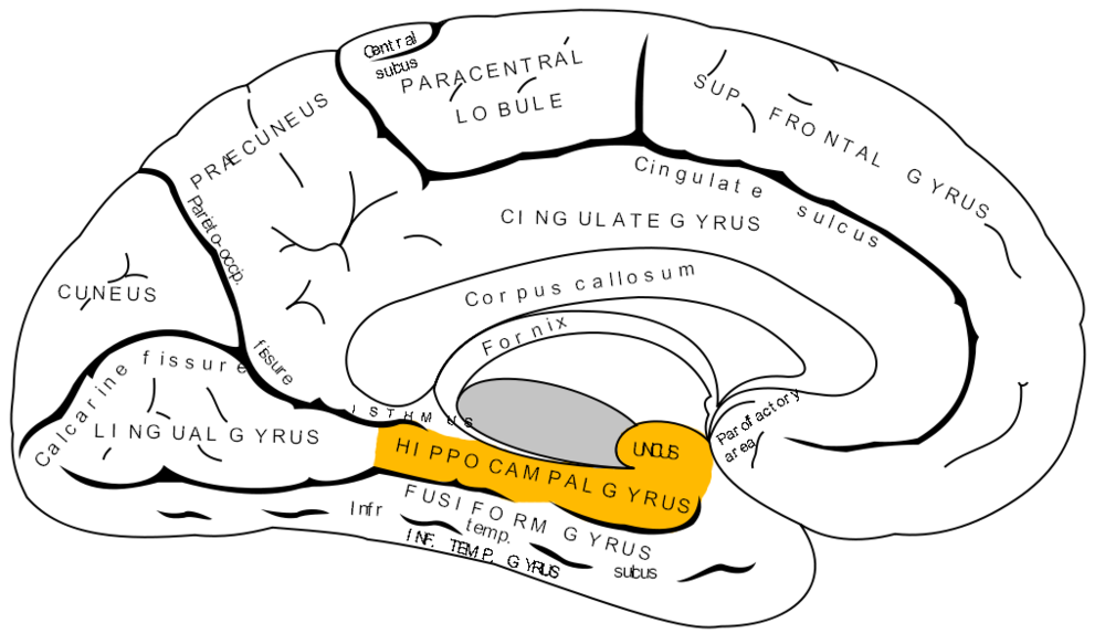 Gray727_parahippocampal_gyrus.png