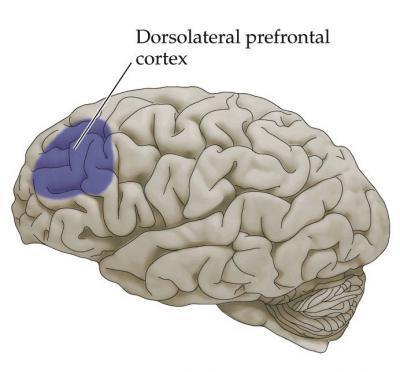 dorsolateral-prefrontal-cortex1.jpg