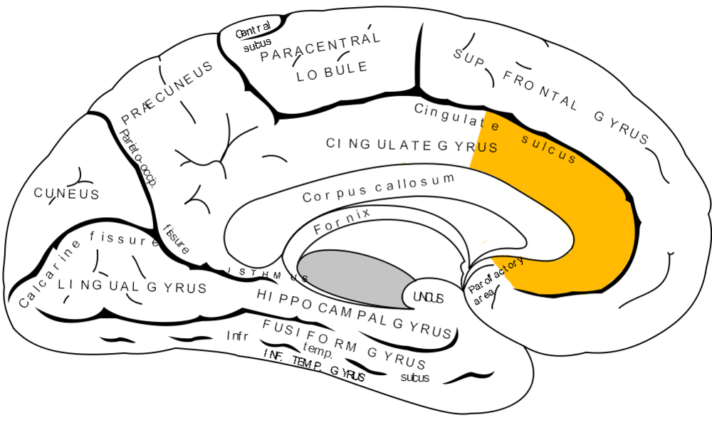 Anterior Cingulate