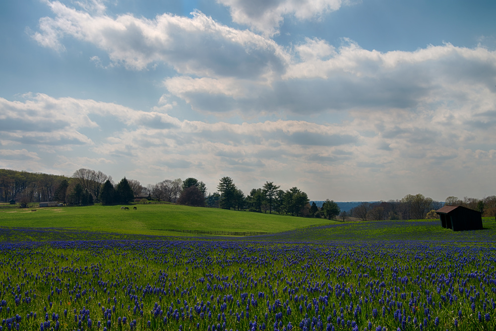 Feild of blue flowers (1 of 1).jpg