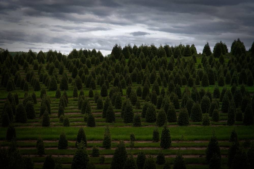 Christmass Tree Farm (1 of 1).jpg