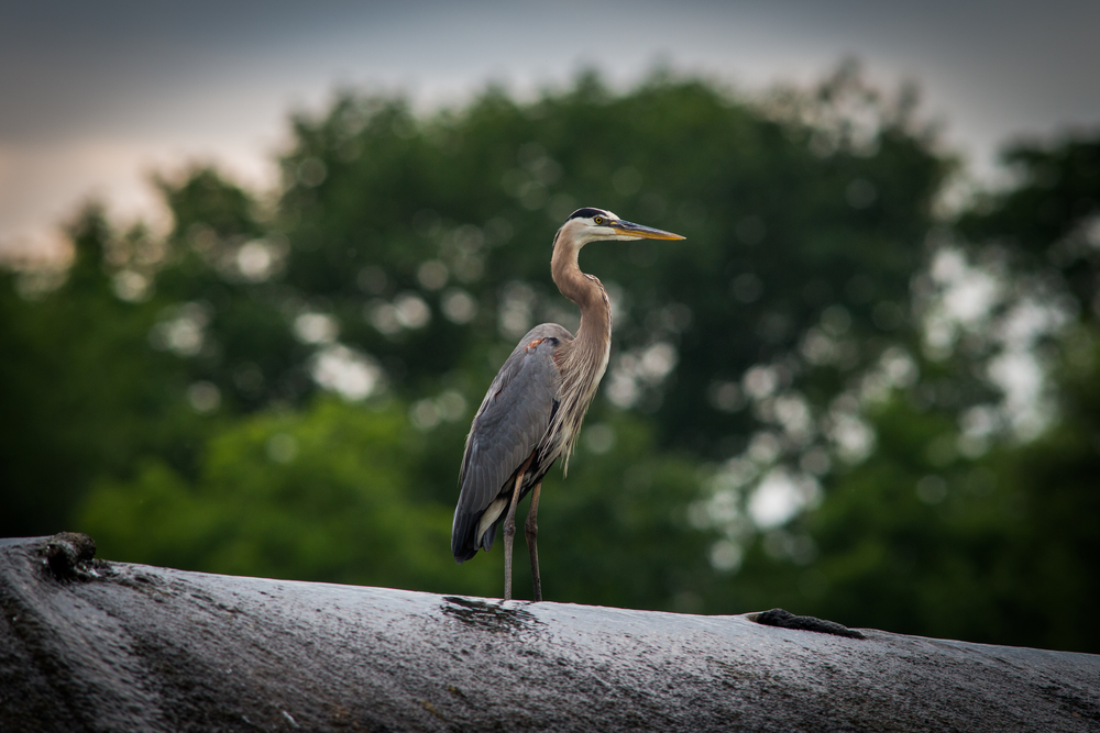 Great Blue Heron (1 of 1).jpg