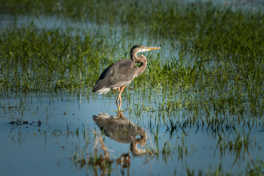 Heron in flooded pond (1 of 1).jpg