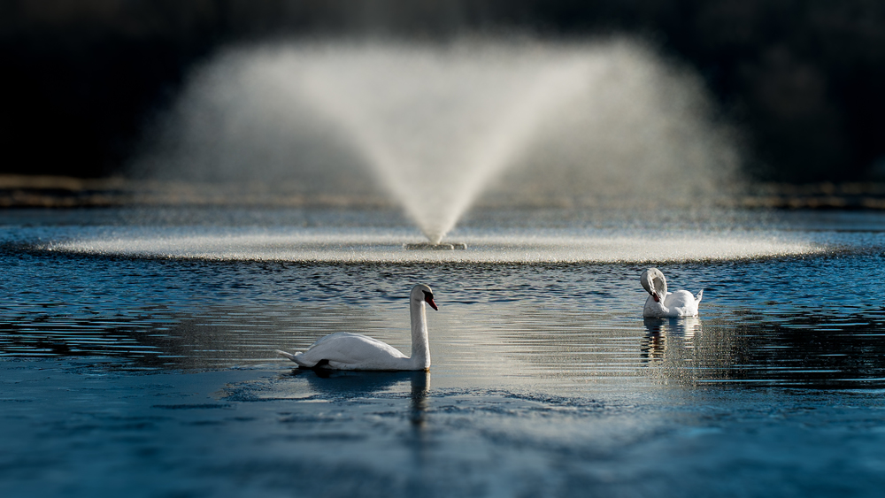 Swans infront of a fountain (1 of 1).jpg