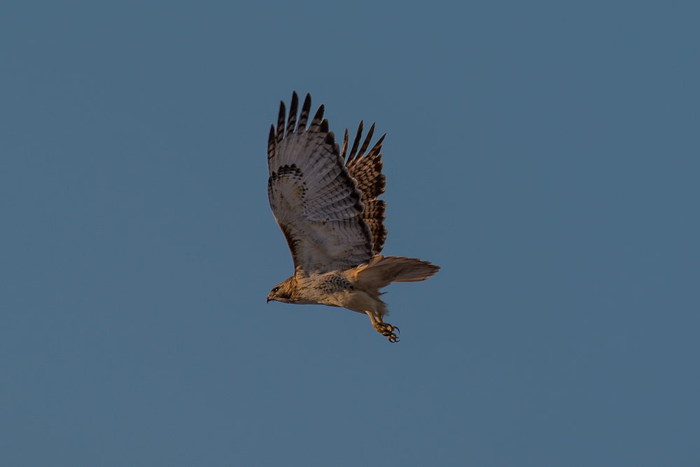 Red Tailed Hawk flying (1 of 1).jpg