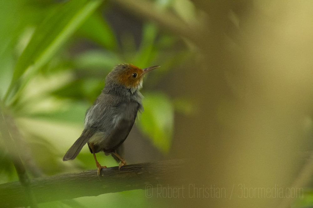 Red Headed (Ashy) Tailorbird photographed in the Kota Kinabalu Wetland Centre.