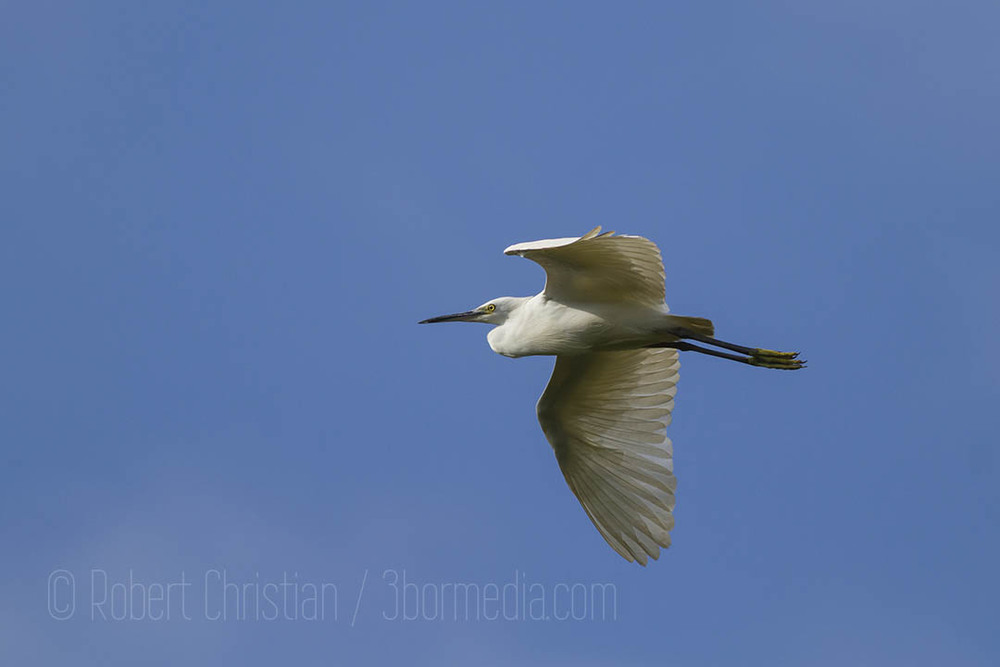 Little Egret flying into the KK Wetland Centre.