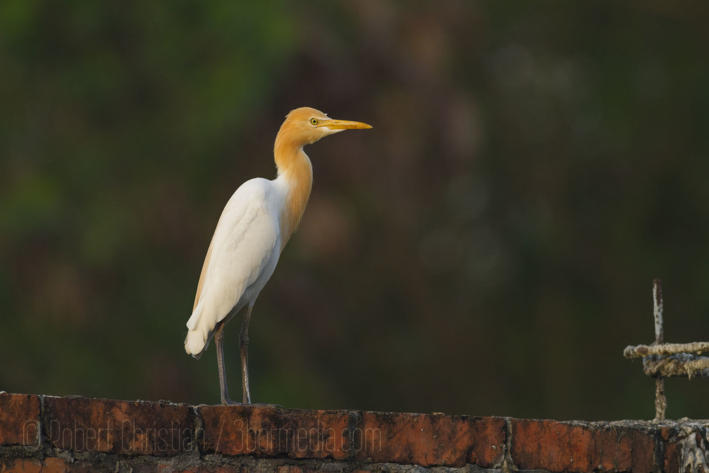 Cattle Egret seen on the wall outside the KK Wetland Centre.