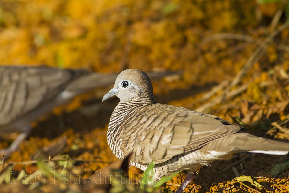 One of my favourite little birds common in urban areas the Barred Ground (Peaceful) Dove.