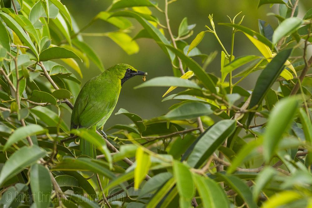 Lesser Green Leafbird.
