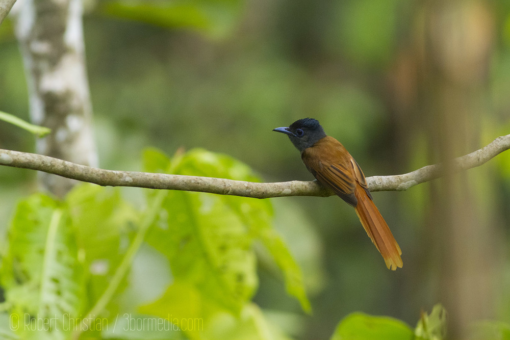 A female Asian Paradise Flycatcher is not as spectacular as the male but still a beautiful bird.