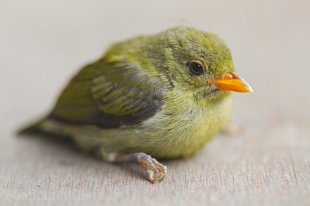 A young Flowerpecker dazed after flying into a window.