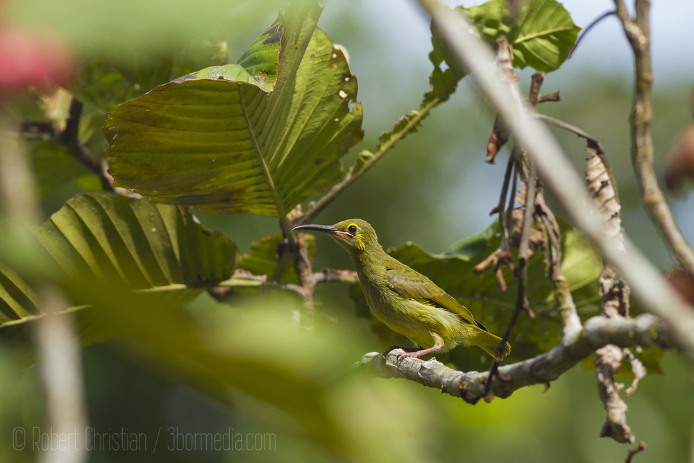 Yellow-Eared Spiderhunter.