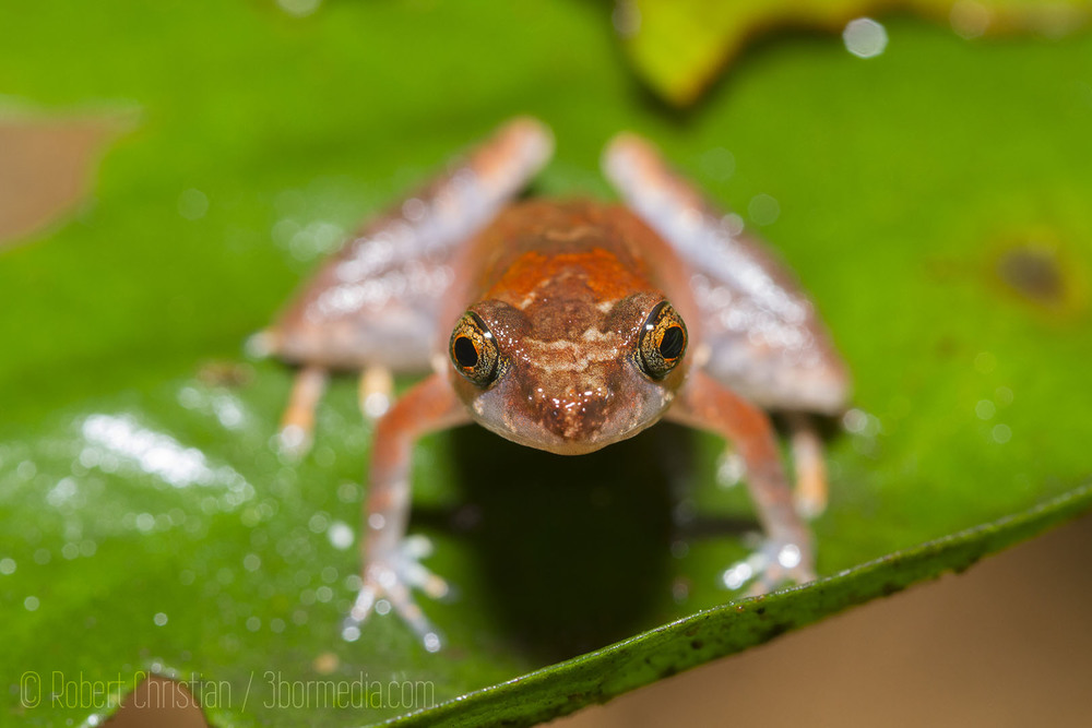 A type of Dwarf Litter Frog who's sound belies its tiny size.