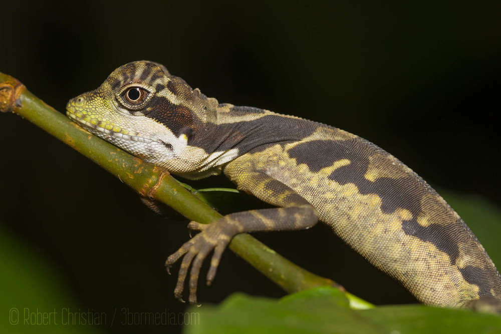 Bornean Angle-Headed Lizard asleep on a branch above the stream.