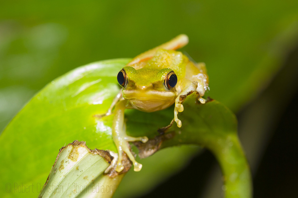 A White Lipped Frog.