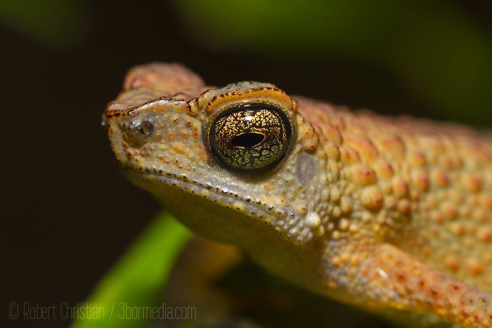 Closeup showing the amazing eye of a slender toad.