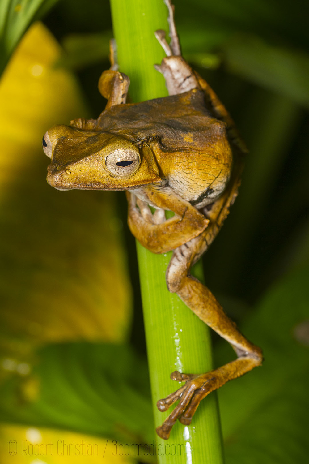 File-Eared Tree Frog.