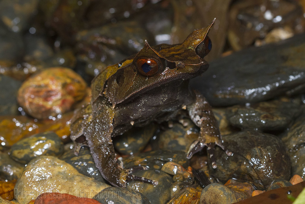 The unique Bornean Horned Frog.