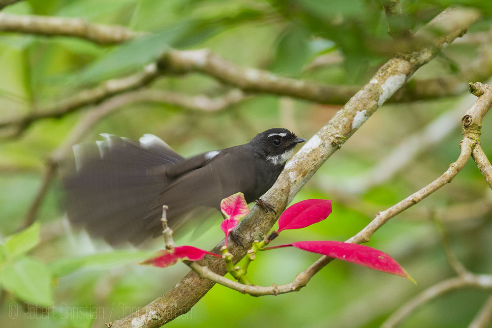 White-Throated Fantail.